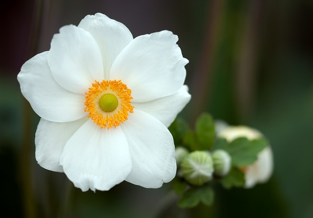 Frühlingsblume Anemonen