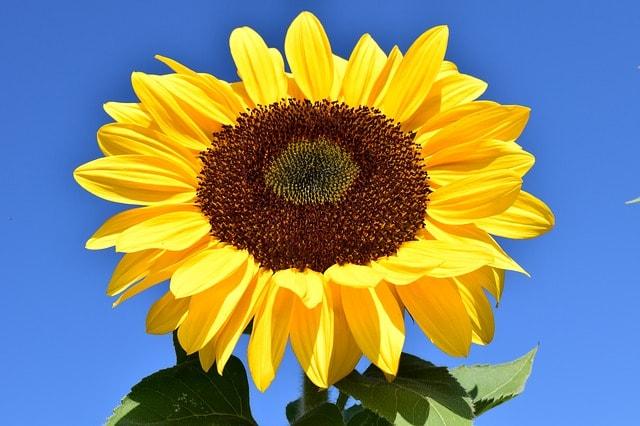 Sommer Sonnenblumen